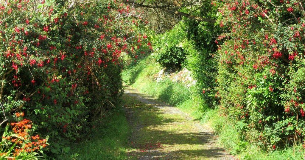 Fuchsien-Hecken an einem Weg in Irland