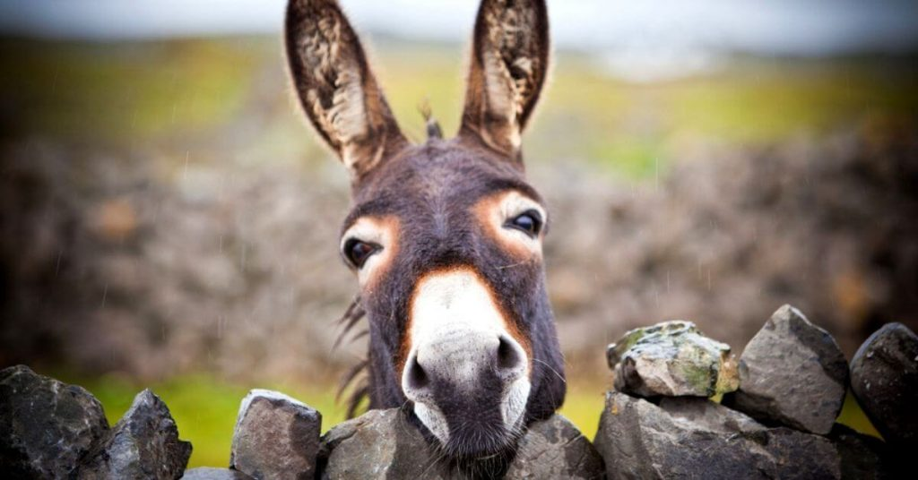 A curious donkey on the Aran Islands, Ireland.