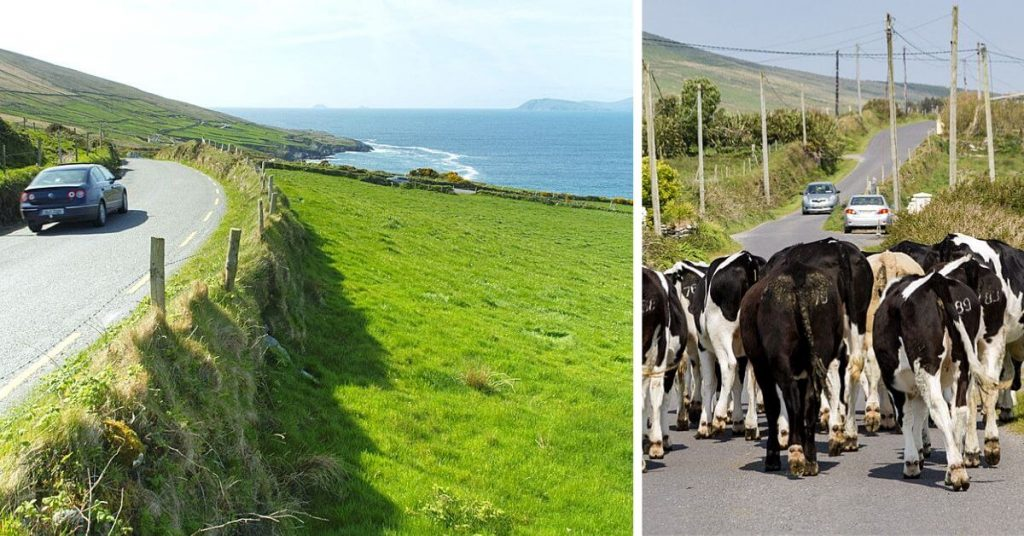 Driving the Beara Peninsula on the left side of the road and cattle causing a traffic jam in Kerry, Ireland