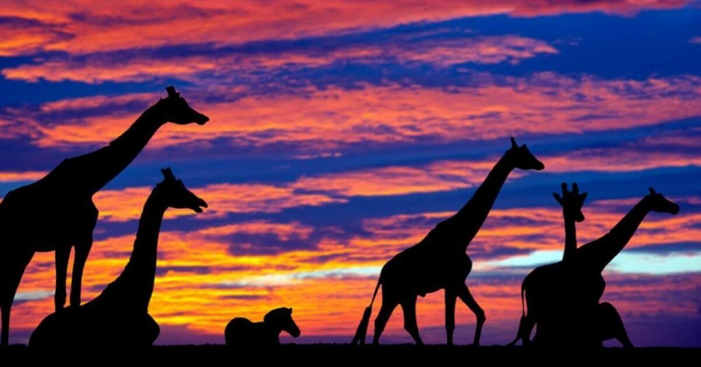 Giraffes at sunset in Fota Wildlife Park, Count Cork, Ireland