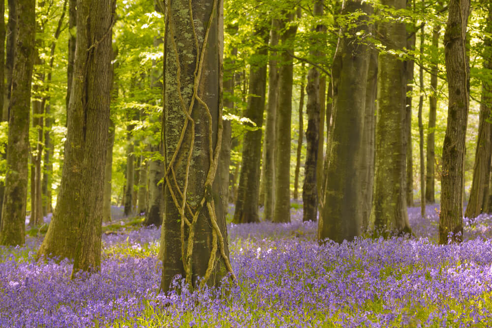 Spring bluebells in Tollymore Forest Park in Northern Ireland.