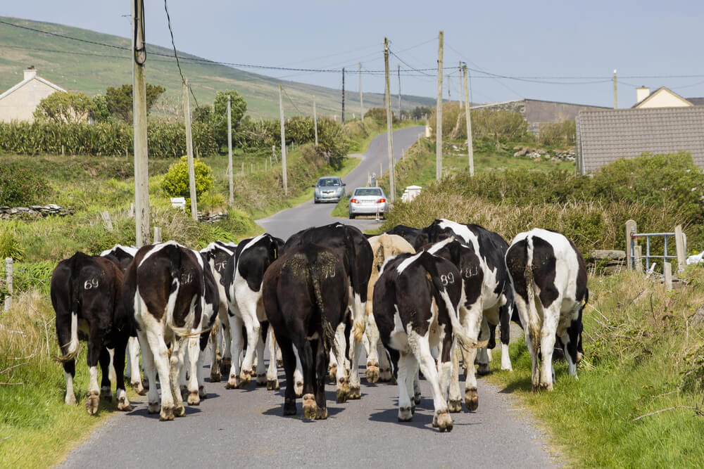 Cattle on a road in Ireland