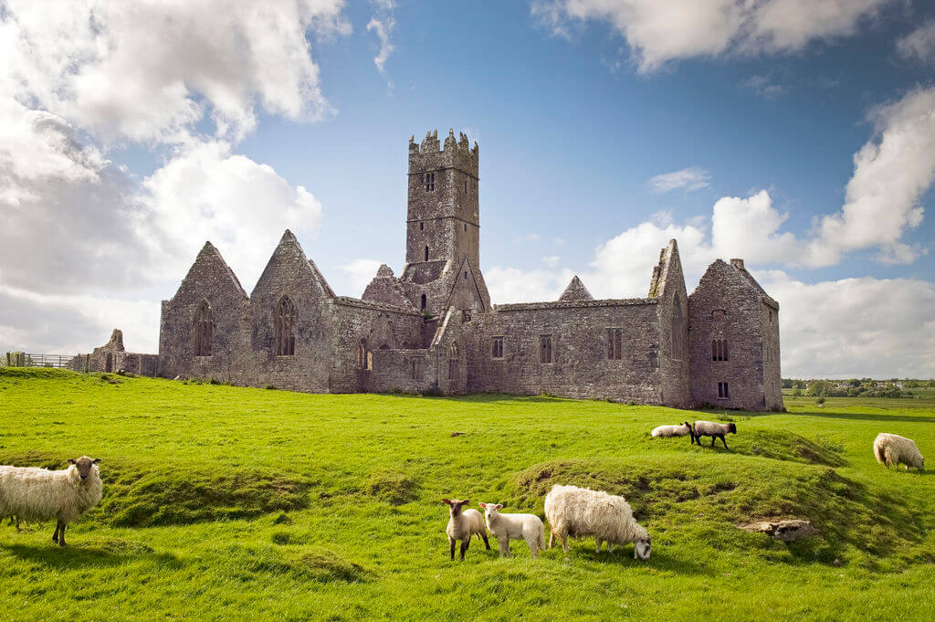 lambs at Ross Errilly Friary, County Galway, Ireland.