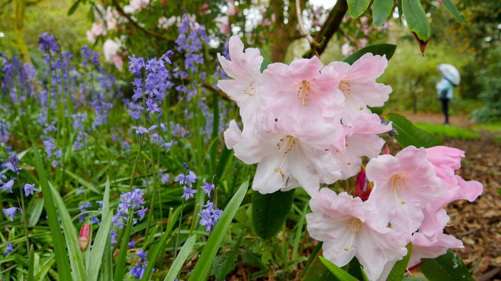 Bluebells and Rhododendron in Ireland
