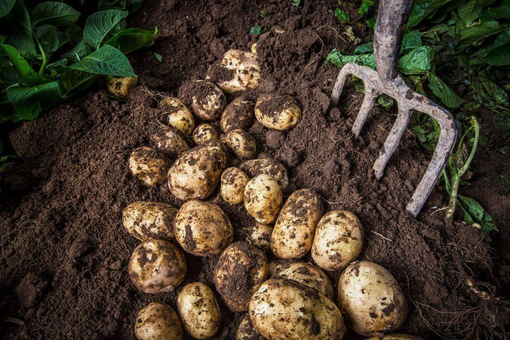 potatoes on a field.