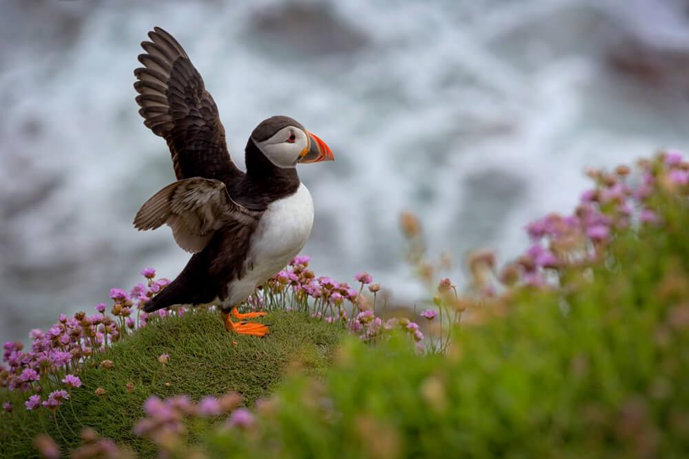puffin in Ireland