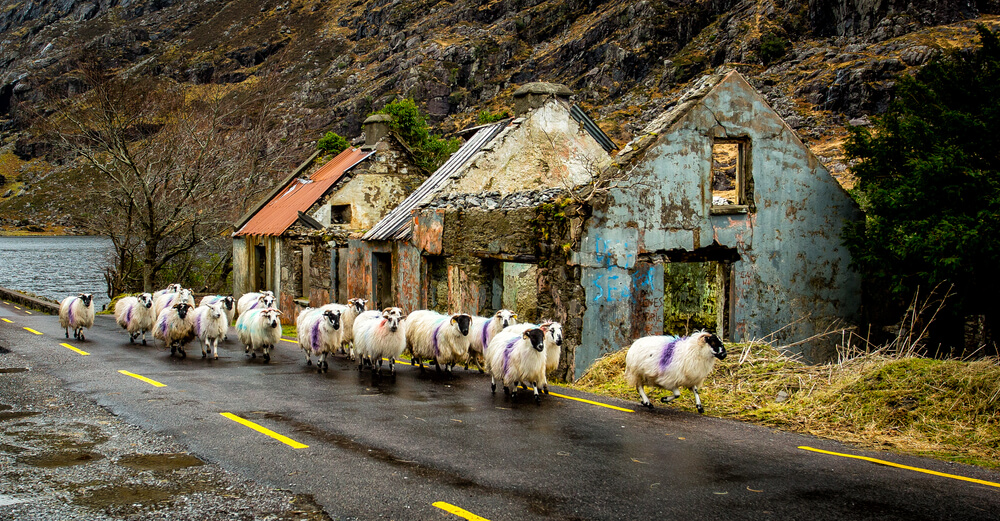 Sheep in Kerry, Ireland on a rainy day.