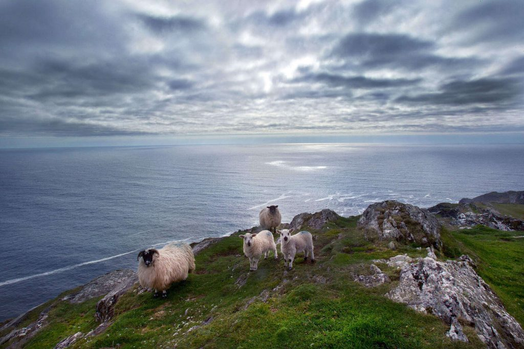 Spring lambs on Sheep's Head Peninsula County Cork, Ireland.
