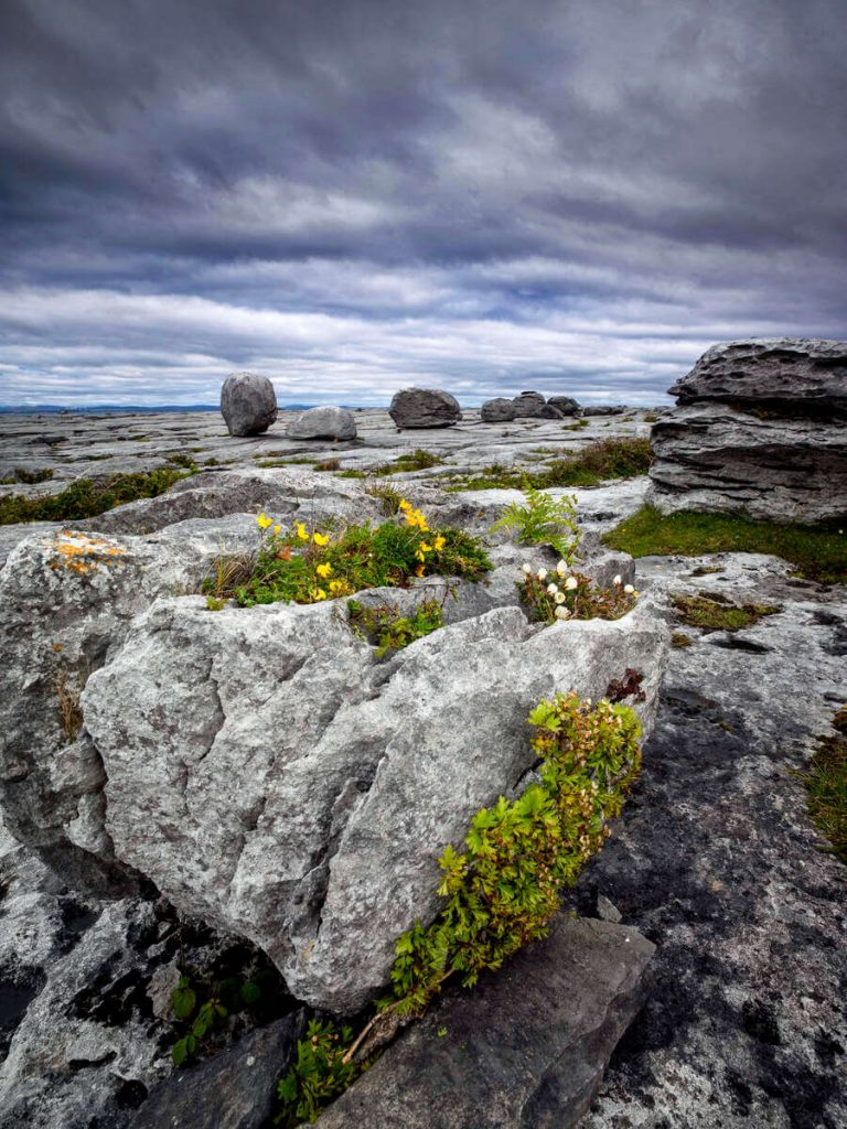 Flowers at the Burren, County Clare, Ireland.